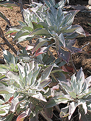 White Sage (Salvia apiana) at Longfellow's Greenhouses