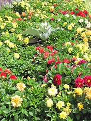 Figaro™ Mix Dahlia (Dahlia 'Figaro Mix') at Longfellow's Greenhouses