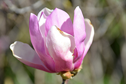 Jane Magnolia (Magnolia 'Jane') at Longfellow's Greenhouses