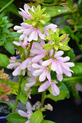 Whirlwind® Pink Fan Flower (Scaevola aemula 'Whirlwind Pink') at Longfellow's Greenhouses