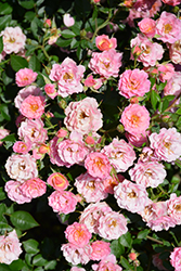 Oso Easy® Petit Pink (Rosa 'ZLEMarianneYoshida') at Longfellow's Greenhouses