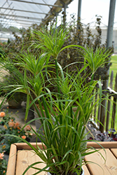 Prince Tut Egyptian Papyrus (Cyperus 'Prince Tut') at Longfellow's Greenhouses