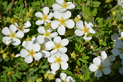 Happy Face® White Potentilla (Potentilla fruticosa 'White Lady') at Longfellow's Greenhouses