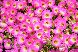 Supertunia® Daybreak Charm Petunia (Petunia 'USTUN69002') at Longfellow's Greenhouses