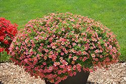 Superbells® Tropical Sunrise Calibrachoa (Calibrachoa 'INCALTRSUN') at Longfellow's Greenhouses