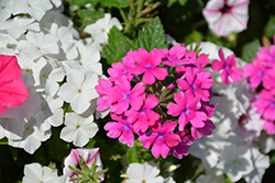Superbena® Pink Shades Verbena (Verbena 'USBENAL20') at Longfellow's Greenhouses