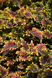 Sky Fire Coleus (Solenostemon scutellarioides 'Sky Fire') at Longfellow's Greenhouses