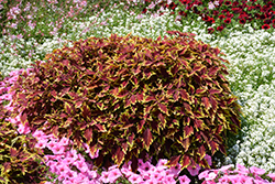 ColorBlaze® Apple Brandy® Coleus (Solenostemon scutellarioides 'Apple Brandy') at Longfellow's Greenhouses