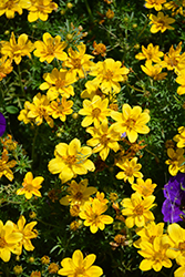 Goldilocks Rocks Bidens (Bidens ferulifolia 'Goldilocks Rocks') at Longfellow's Greenhouses