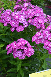 Laura Garden Phlox (Phlox paniculata 'Laura') at Longfellow's Greenhouses