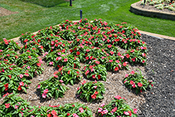 Bounce™ Bright Coral Impatiens (Impatiens 'Balbocour') at Longfellow's Greenhouses