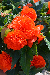 Nonstop® Orange Begonia (Begonia 'Nonstop Orange') at Longfellow's Greenhouses