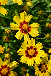 Sunkiss Tickseed (Coreopsis grandiflora 'Sunkiss') at Longfellow's Greenhouses