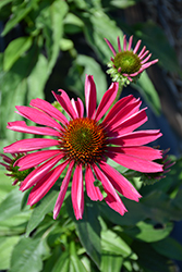 Kismet® Raspberry Coneflower (Echinacea 'TNECHKR') at Longfellow's Greenhouses