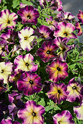 Crazytunia® Moonstruck Petunia (Petunia 'Crazytunia Moonstruck') at Longfellow's Greenhouses