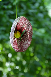 Dutchman's Pipe (Aristolochia macrophylla) at Longfellow's Greenhouses
