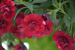 Superbells® Double Ruby Calibrachoa (Calibrachoa 'USCAL83901') at Longfellow's Greenhouses