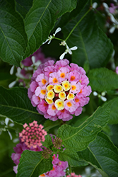 Luscious® Pinkberry Blend™ Lantana (Lantana camara 'Luscious Pinkberry Blend') at Longfellow's Greenhouses