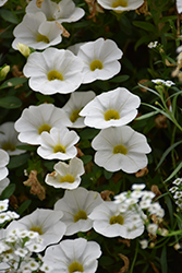 Superbells® White Calibrachoa (Calibrachoa 'Superbells White') at Longfellow's Greenhouses