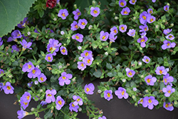 Snowstorm® Blue Bacopa (Sutera cordata 'Snowstorm Blue') at Longfellow's Greenhouses