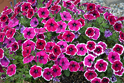 Crazytunia® Passion Punch Petunia (Petunia 'Crazytunia Passion Punch') at Longfellow's Greenhouses