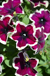 Crazytunia® French Kiss Petunia (Petunia 'Crazytunia French Kiss') at Longfellow's Greenhouses
