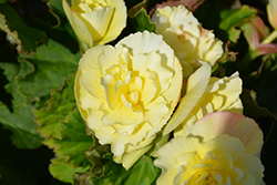 Solenia® Yellow Begonia (Begonia 'Solenia Yellow') at Longfellow's Greenhouses
