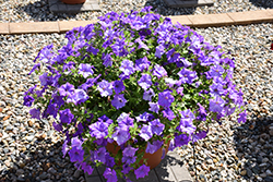 Surfinia® Heavenly Blue Petunia (Petunia 'Surfinia Heavenly Blue') at Longfellow's Greenhouses