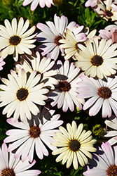 Akila® White Purple Eye African Daisy (Osteospermum ecklonis 'Akila White Purple Eye') at Longfellow's Greenhouses