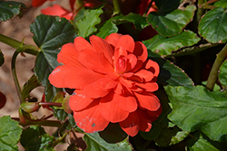 Illumination® Rose Begonia (Begonia 'Illumination Rose') at Longfellow's Greenhouses