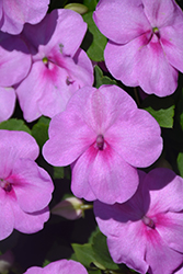 Super Elfin® XP Blue Pearl Impatiens (Impatiens walleriana 'Super Elfin XP Blue Pearl') at Longfellow's Greenhouses