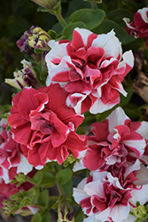 Madness Red And White Double Petunia (Petunia 'Madness Red And White Double') at Longfellow's Greenhouses
