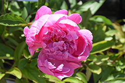 Dr. Alexander Fleming Peony (Paeonia 'Dr. Alexander Fleming') at Longfellow's Greenhouses
