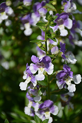 Angelface® Wedgewood Blue Angelonia (Angelonia angustifolia 'Angelface Wedgewood Blue') at Longfellow's Greenhouses