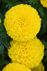 Taishan Yellow Marigold (Tagetes erecta 'Taishan Yellow') at Longfellow's Greenhouses