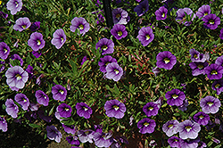 Callie® Light Blue Calibrachoa (Calibrachoa 'Callie Light Blue') at Longfellow's Greenhouses