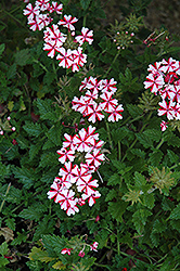 Lanai® Candy Cane Verbena (Verbena 'Lanai Candy Cane') at Longfellow's Greenhouses