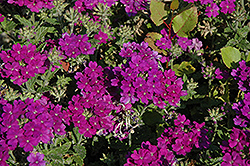 Lanai® Blue Verbena (Verbena 'Lanai Blue') at Longfellow's Greenhouses