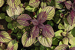 Fishnet Stockings Coleus (Solenostemon scutellarioides 'Fishnet Stockings') at Longfellow's Greenhouses