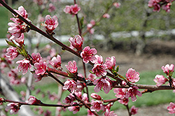 Reliance Peach (Prunus persica 'Reliance') at Longfellow's Greenhouses