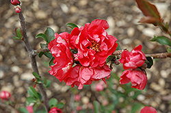 Double Take Pink™ Flowering Quince (Chaenomeles speciosa 'Double Take Pink Storm') at Longfellow's Greenhouses