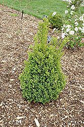 Green Mountain Boxwood (Buxus 'Green Mountain') at Longfellow's Greenhouses
