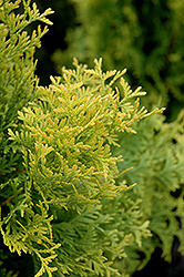 Amber Gold Arborvitae (Thuja occidentalis 'Amber Gold') at Longfellow's Greenhouses