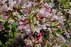 Rainbow Sensation® Weigela (Weigela florida 'Kolmagira') at Longfellow's Greenhouses