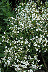 Festival™ Star Baby's Breath (Gypsophila paniculata 'Festival Star') at Longfellow's Greenhouses