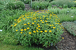 Tuscan Sun False Sunflower (Heliopsis helianthoides 'Tuscan Sun') at Longfellow's Greenhouses