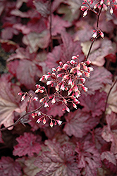 Berry Smoothie Coral Bells (Heuchera 'Berry Smoothie') at Longfellow's Greenhouses
