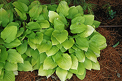 Fire Island Hosta (Hosta 'Fire Island') at Longfellow's Greenhouses