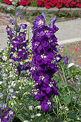 Purple Passion Larkspur (Delphinium 'Purple Passion') at Longfellow's Greenhouses