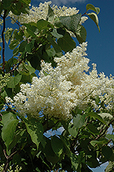 Ivory Silk Tree Lilac (tree form) (Syringa reticulata 'Ivory Silk (tree form)') at Longfellow's Greenhouses